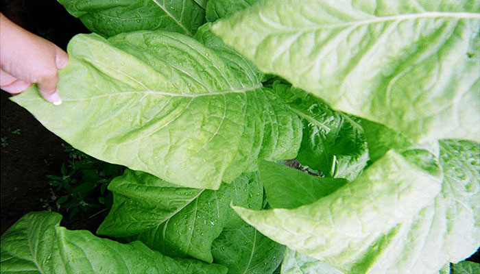 Certified organic tobacco leaves